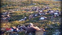 Des centaines de rennes foudroyés et tuées en même temps !