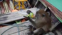 Ce singe bizarre kiffe boire de l'aclool puis plonger à l'eau... WTF