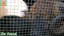 Sheep and lambs happy in his housgffdfde on farm - Farm animals video for Kids - Animais TV