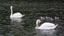 Beautiful white swans in water with their babies Full HD released by NCV