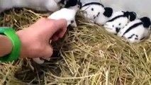 Mon élevage de lapin Géant Papillon Francais pur race