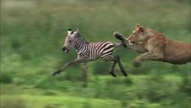 Lioness Hunts Zebra - Nature's Great Events: The Great Migration