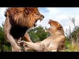 Lions Fight to Death - Best Lion vs Lion Compilation - The Fall of the King