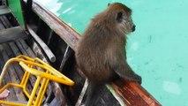 Un singe thaïlandais complètement bourré sur un bateau