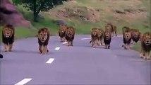 Lions on the road at sasan gir
