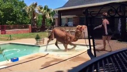 Une jeune femme retrouve un chameau dans sa piscine !