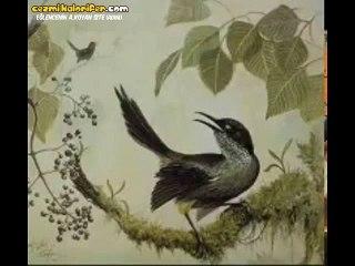En Son 1987'de Kayıt Edilebilen ve Artık Canlı Canlı Duyamayacağımız Kauai Kuşunun Güzel Sesi