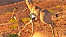 Giraffe kills lion. Giraffe attacks lion pride and kicks one of them to ... - GIRAFFE KILLS LION