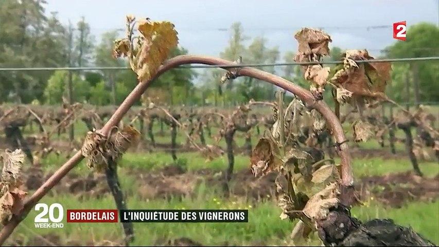 Bordelais : l'inquiétude des vignerons après l'épisode de gel