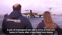 Endangered sea otters fly into F