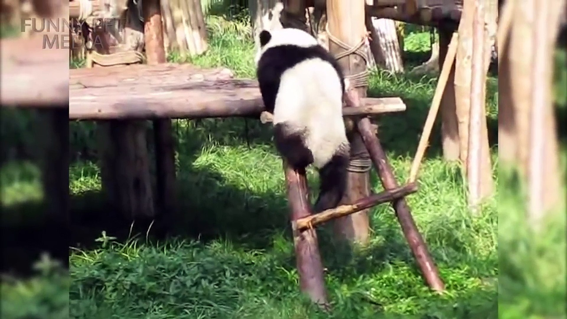 Funny Panda VIDEOS Funny Pets - cute funny animals funny panda bear,funny animals video 2017