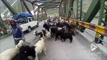 Quand tu croises un troupeau de chèvres immense en Inde... Wouahh