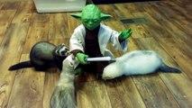 Yoda combat des furets au sabre laser !