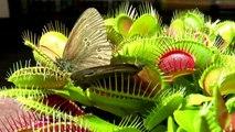 Ces insectes se font bouffer par des plantes carnivores !