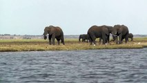 Elephants eating on the banks of the Chobe River, Botswana, Africa