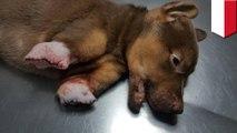 Penyiksaan anjing: anak anjing dimutilasi kakinya, diselamatkan oleh penyelamat hewan - TomoNews