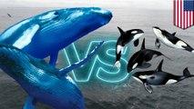 Paus bungkuk terlihat mengganggu jam makan paus Orca - Tomonews