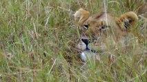 Lions In The Long Grass on the Masai Mara, Kenya, Africa