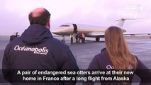 Endangered sea otters fly into Fra