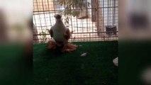 süslü kafeslerde güvercin Yetiştirme ve güvercin gün faaliyet ıslahı (kuşlar viideis)süp / supe fancy pigeons breeding cages & breeding pigeons day activity (birds viideis)