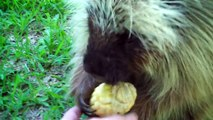 Elle donne du maïs à un porc-épic, mais lorsqu'elle tente de le récupérer... Oh, mon Dieu, écoutez sa réponse!!