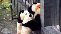 Ces pandas tentent une évasion... Trop drole