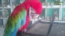 Ara (Macaw) Papağanın Gücü...!