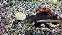 Büyük Kedi Balığı Akvaryumu