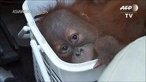 Baby orangutans rescued in Thai police sting[1]dsa