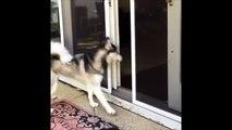 Ce chien Husky ne sais pas ce qu'il veut : dehors, dedans, dehors...
