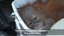 Baby oranguta ued in Thai police sting
