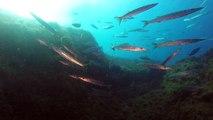 Les barracudas du Cap Roux