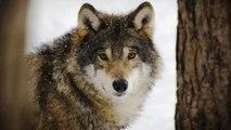 El Principado de Asturias pretende matar ya al menos a 45 lobos más