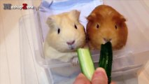Guinea Pigs - A Funny And Cute Guinea Pig Videos Compilation _ NEW HD