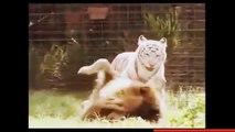 Most Amazing Wild Animal Fights - Big Battle Animals Real Fight - Gorilla, Bear, Lion Fight HD