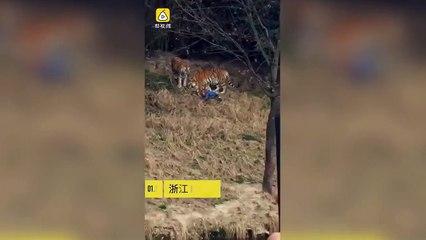 un homme vs un tigre