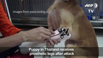 Puppy receives prosthetic p  after attack
