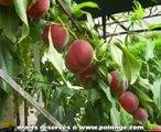 ---Comment tailler les arbres fruitier en juin -