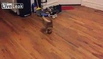 Ce chat aveugle joue comme un fou avec une boulette de papier... Incroyable