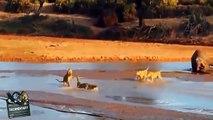 Crocodile Kills Lion - Crocodile vs Lion - Most Amazing Wild Animal Fights HD