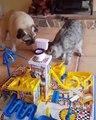 Un chat et chien jouent à un jeu de société LOL