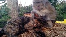 Un macaque s'occupe de chercher des poux dans le pelage d'un chat