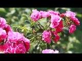 Tailler le rosier en tige en été