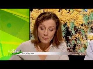 Comment conserver le mimosa en bouquet - Mag de Campagnes TV