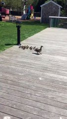 These adorable ducklings doing bombs into a pond is quite possibly the best thing we've seen all day!