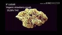 TOP 10 Cannabis Com Mais THC No MUNDO Marijuana Mais Potentes Maconha Natural #13 ( GORDÃO THC ) )