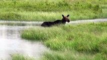 The Moose is Loose - Moose Video