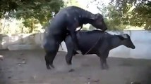 Try not to laugh. Best Animals Fail & Wins Compilation Ever !! Fu