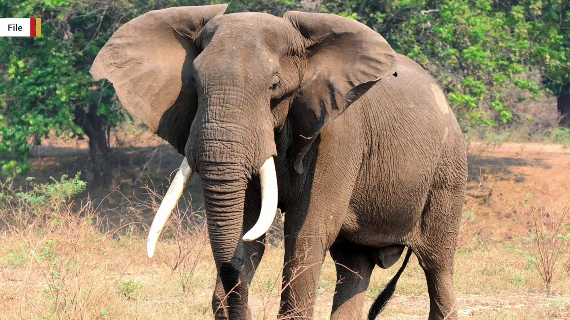 Wounded Elephant Falls On Hunter, Both Die