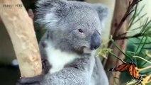 Cute Koalas Playing  Funny Koala Bear
